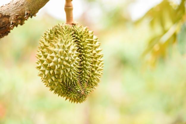 Frische durianfrucht, die auf dem durianbaum in den tropischen sommerfrüchten des gartenobstgartens hängt und auf die ernte-naturfarm auf dem berg - durian in thailand wartet