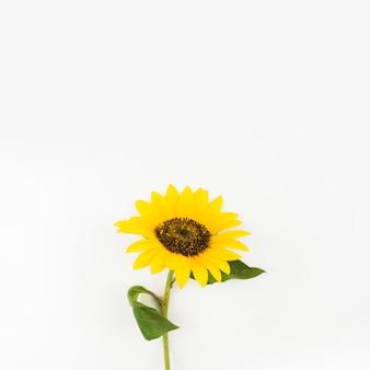 Frische einzelne sonnenblume auf weißem hintergrund