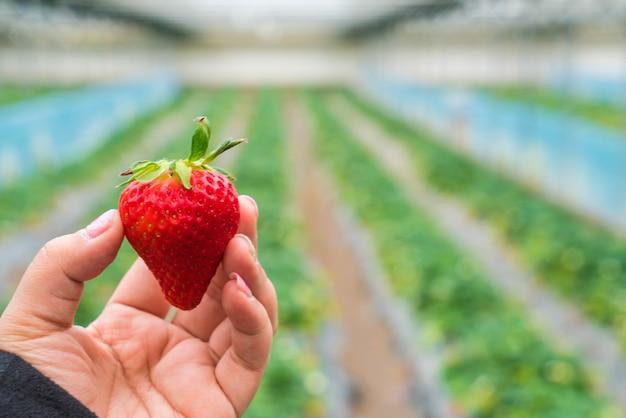 Frische erdbeere handverlesen
