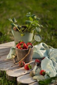 Frische erdbeeren im schönen weinlesekorb. vintage gartengeräte