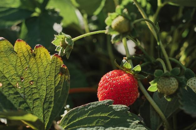 Frische erdbeeren wachsen im boden, nahaufnahme, selektiver fokus. reife erdbeeren aus eigenem anbau, öko-bauernhof