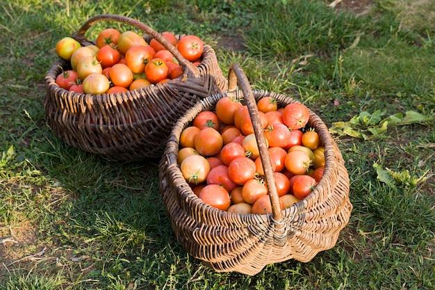 Frische ernte rote tomaten gesammelt in einem alten korb, reife tomaten auf dem feld nach der ernte von tomaten und gemüse, nahaufnahme