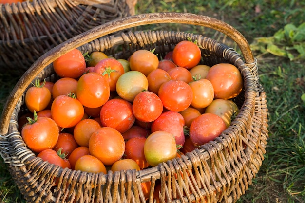 Frische ernte rote tomaten gesammelt in einem alten korb, reife tomaten auf dem feld nach der ernte von tomaten und gemüse