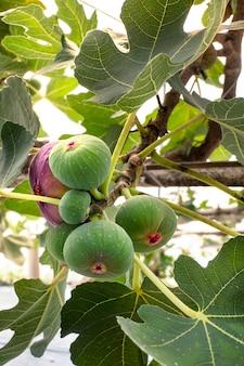 Frische feigenfrucht