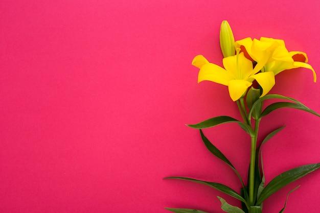 Frische gelbe lilienblumen auf rosa hintergrund