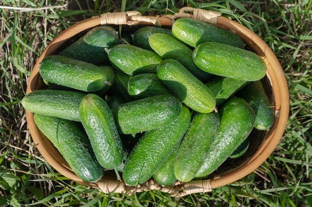 Frische gepflückte bio-gurken im weidenkorb, der auf grünem gras steht. sommer und frisch gesundes öko-gemüse auf der landwirtschaftlichen landwirtschaft bei sonnigem wetter. flacher blick auf das ländliche stillleben.