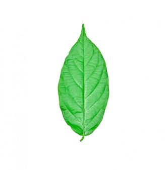 Frische grünblätter getrennt auf weiß