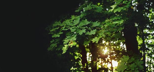 Frische grüne ahornblätter
