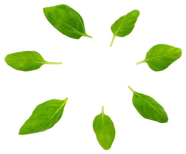 Frische grüne basilikum-kräuterblätter isoliert.