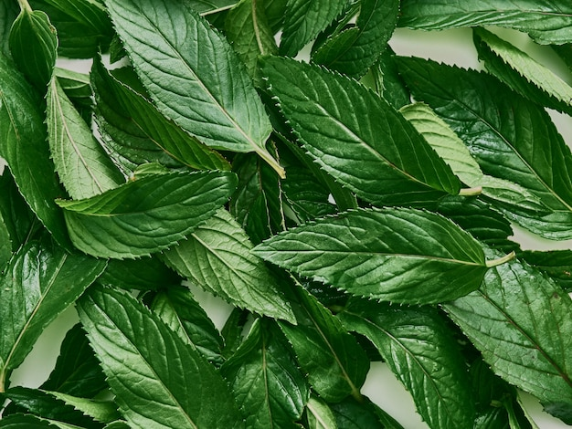 Frische grüne bio-blätter minze.