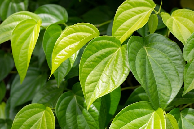 Frische grüne blätter der betelpflanze, die in graden wächst