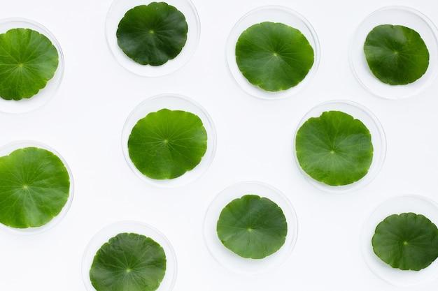 Frische grüne centella asiatica blätter in petrischalen auf weißem hintergrund.