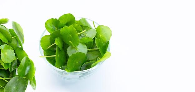 Frische grüne centella asiatica-blätter oder wasserpennywort-pflanze
