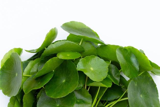 Frische grüne centella asiatica-blätter