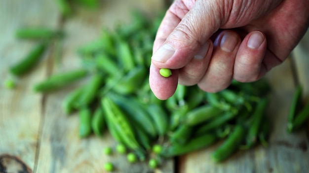 Frische grüne erbsen in den händen
