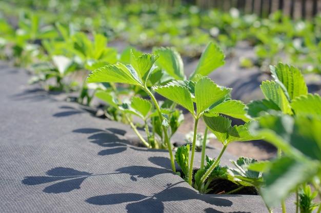 Frische grüne erdbeeranlagen, die auf synthetischer faser unter frühlingssonne wachsen