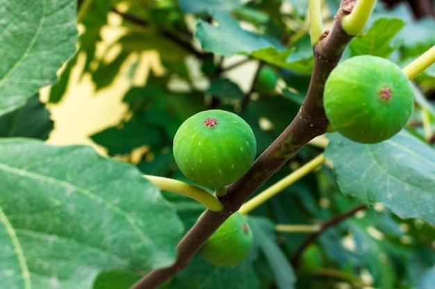 Frische grüne feige, die auf einem baum wächst