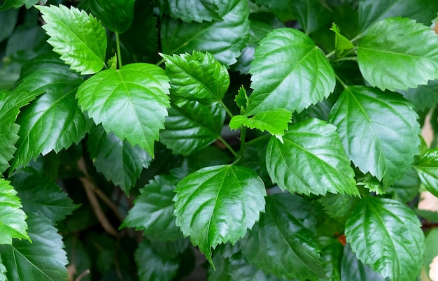 Frische grüne hibiskusblätter auf einem baum