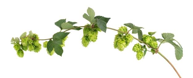 Frische grüne hopfenniederlassung, lokalisiert auf einem weißen hintergrund. hopfenzapfen mit blatt. bio hopfenblüten. nahaufnahme.