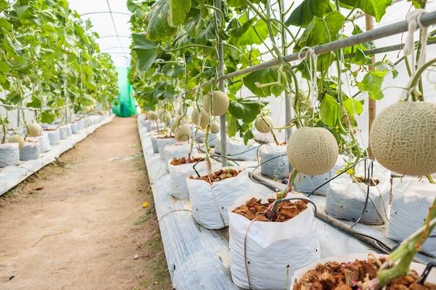 Frische grüne japanische kantalupenmelonenpflanzen, die im organischen gewächshausgarten wachsen