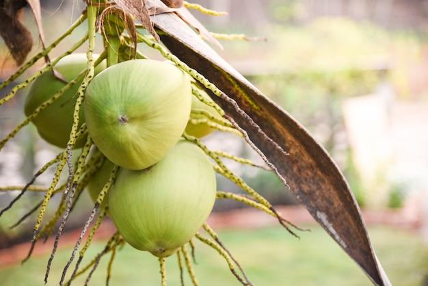 Frische grüne junge kokosnuss auf tropischer frucht der baumpalme