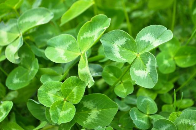 Frische grüne kleeblätter nahaufnahme
