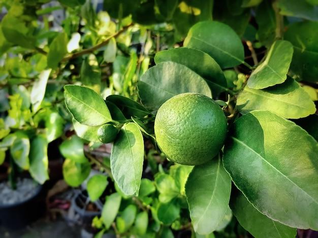Frische grüne limettenfrucht der nahaufnahme gegen baumhintergrund