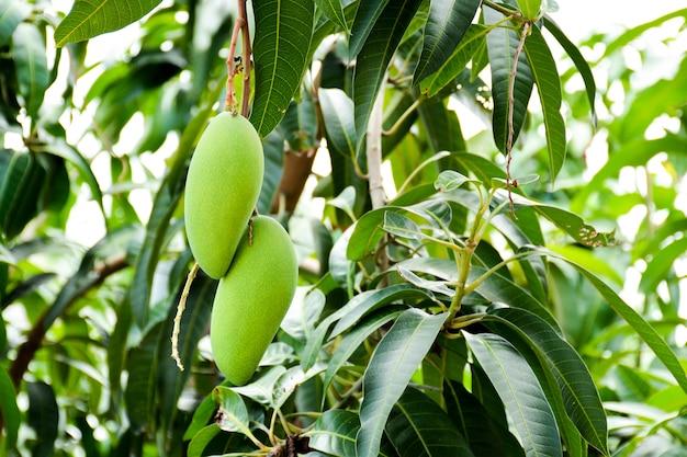 Frische grüne mango auf baum am bauernhof der biologischen landwirtschaft