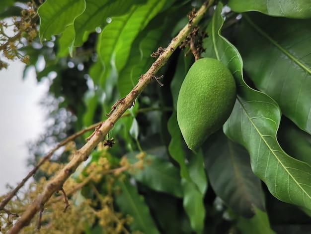 Frische grüne mango-frucht der nahaufnahme auf baum mit blättern auf hintergrund