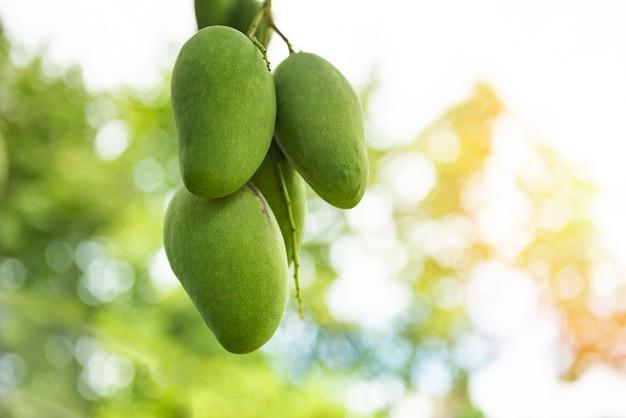 Frische grüne mangofrucht, die am mangobaum im gartenbauernhof landwirtschaftlich mit naturgrünunschärfe und -bokeh hängt