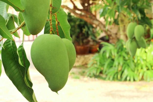Frische grüne mangos auf dem baum im garten