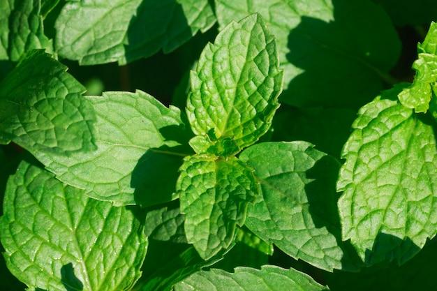 Frische grüne minzblätter im hausgarten