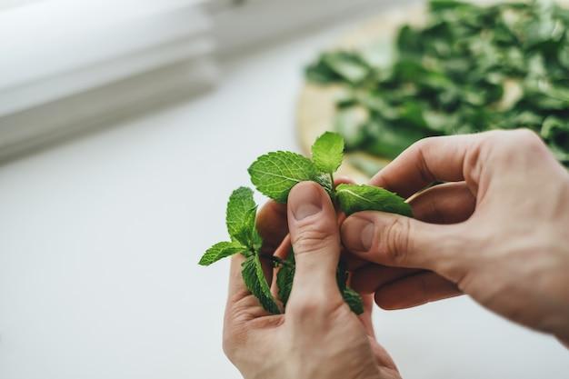 Frische grüne minzezweige nahaufnahme in männlichen händen. minze schälen, zum trocknen vorbereiten, um gesunden tee zuzubereiten.