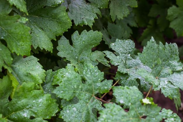 Frische grüne reben. sommerzeit im weinberg. ein junger zweig der trauben in der natur. weinreben