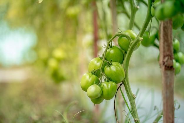 Frische grüne tomaten auf baum im asien-garten
