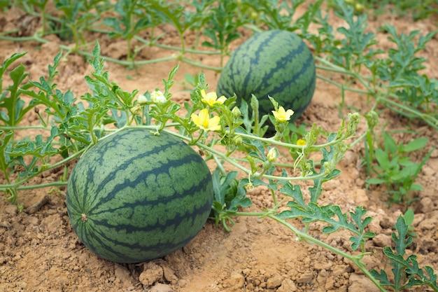 Frische grüne wassermelone von reifen wassermelonen auf einem gebiet.