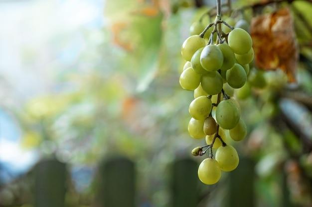Frische grüne weintrauben auf grünen zweigen. das konzept der weinbereitung, wein, gemüsegarten, hütte, ernte.