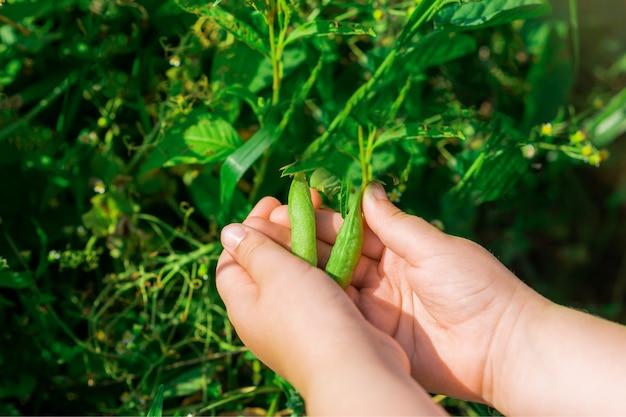 Frische hülsen der grünen erbsen in den händen des kindes.