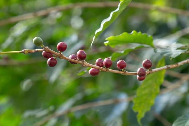 Frische kaffeebohnen auf bäumen