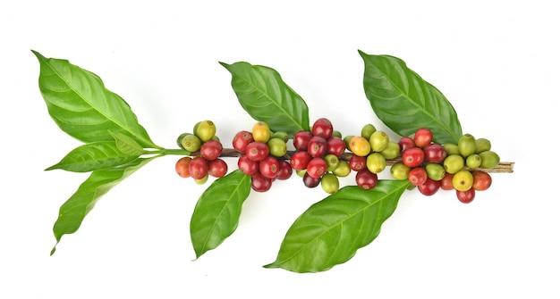Frische kaffeebohnen getrennt auf weißem hintergrund