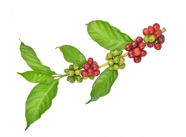 Frische kaffeebohnen lokalisiert auf weißem hintergrund