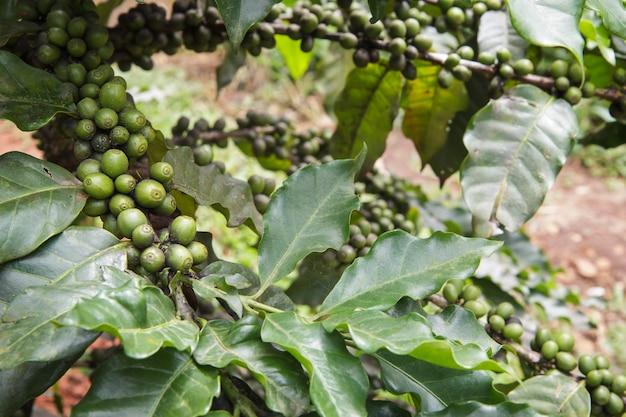Frische kaffeebohnen oder kaffeebohnen auf baum im bauernhof auf baum an nationalpark doi inthanon in chiang mai, provinz asien thailand