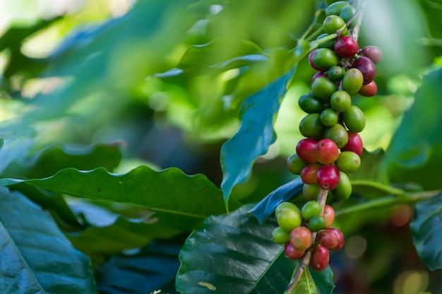 Frische kaffeebohnen sind rot und grün auf einer reihe von kaffeebäumen.