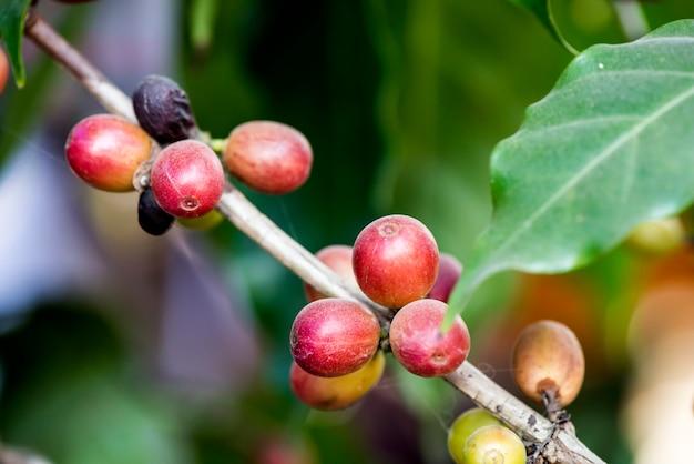 Frische kaffeefrüchte auf naturhintergrund.