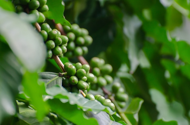 Frische kaffeekirsche auf kaffeebaum