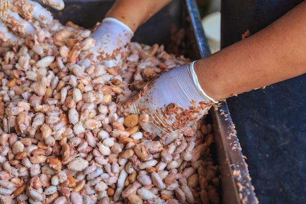Frische kakaobohnen und frischer kakaosamen in einem eimer, um schokolade zu machen