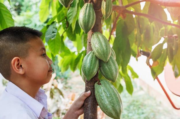 Frische kakaoschoten in der hand