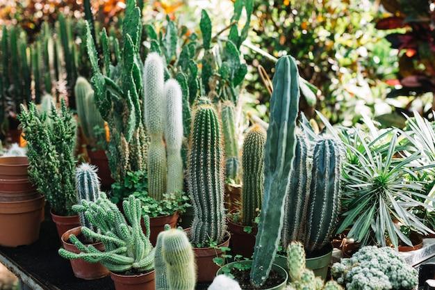 Frische kaktuspflanzen, die im gewächshaus wachsen