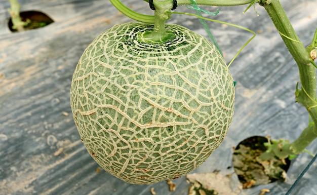 Frische kantalupen-frucht oder muskmelon auf dem baum im gewächshaus