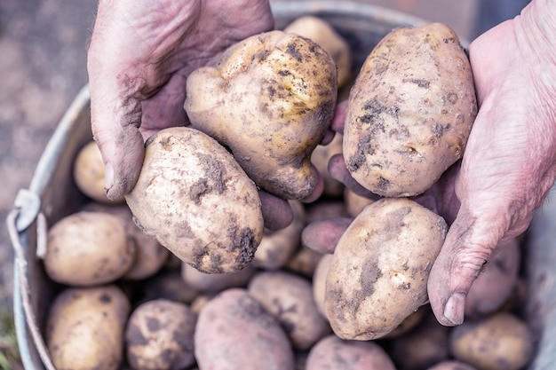 Frische kartoffeln in den händen des alten älteren landwirts über dem eimer.
